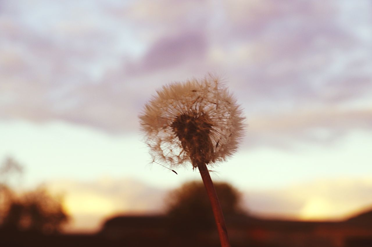 focus on foreground, dandelion, flower, close-up, growth, stem, fragility, nature, selective focus, plant, sunset, beauty in nature, freshness, dry, silhouette, outdoors, no people, tranquility, sky, flower head