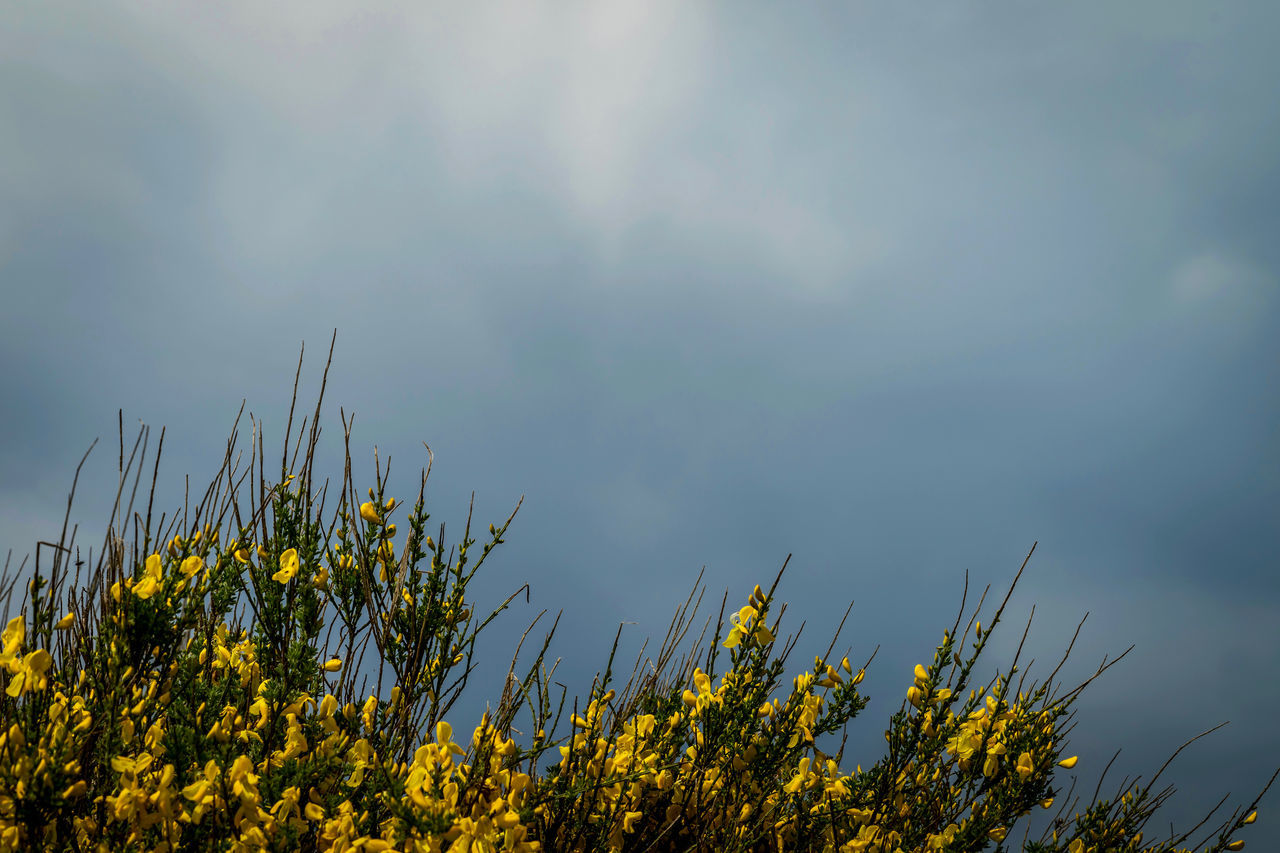 Beauty In Nature Broom Day Flower Freshness Ginster Growth Nature No People Outdoors Plant Shrub Sky Spring Springtime Springtime Blossoms Storm Storm Cloud Storm Clouds Stormy Weather Tranquility Yellow Yellow Flower