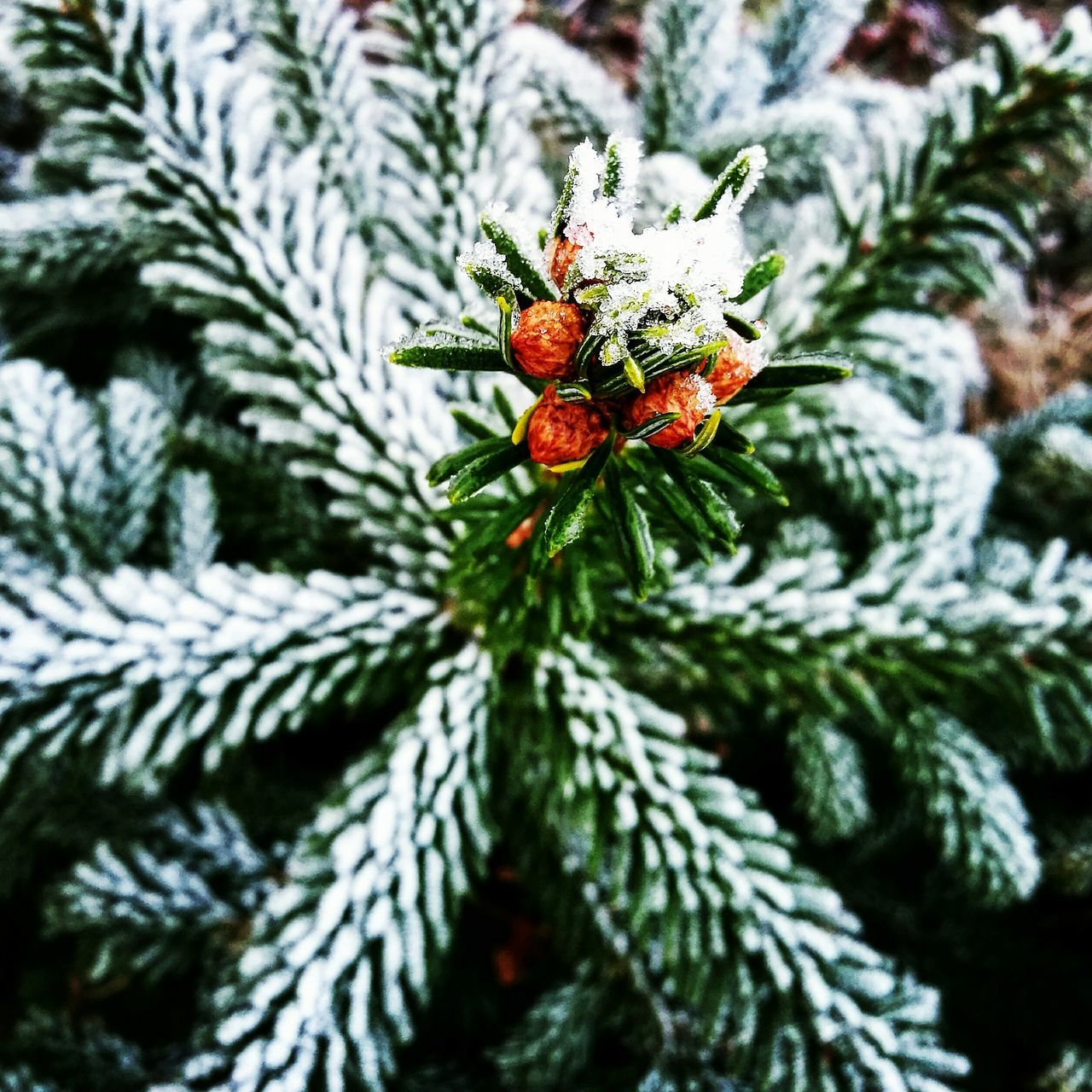 Hunting the small beautiful things in life 🌲❄ Tree Close-up Nature Needle - Plant Part Outdoors Details Details Of Nature Smallthingsthatmakemehappy No People Norway🇳🇴 Wintertime Winter Trees Christmas Tree Smallthingsinlife Lifeontheroad Life In Motion Green Color