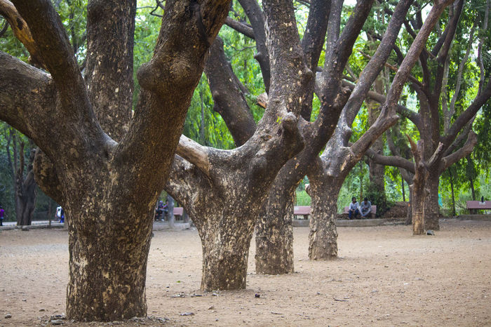 Beautiful Beauty In Nature Growth Large Tree Trunk National Park Nature Outdoors Park - Man Made Space Tree Tree In A Row Tree Trunks Wood - Material