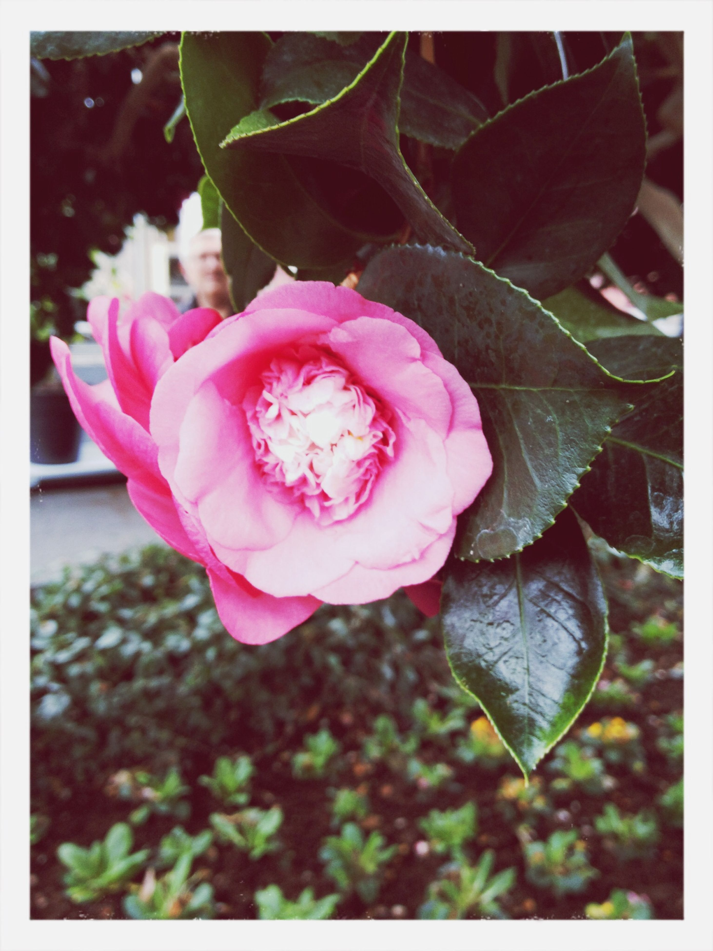 transfer print, flower, petal, auto post production filter, fragility, freshness, flower head, pink color, close-up, beauty in nature, growth, blooming, nature, plant, leaf, focus on foreground, outdoors, single flower, day, in bloom