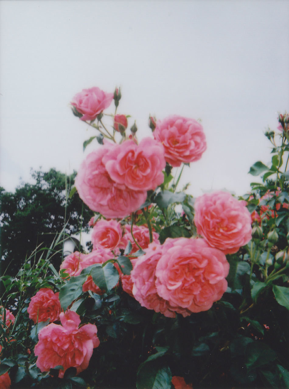 flower, beauty in nature, nature, pink color, growth, petal, fragility, plant, no people, rose - flower, freshness, blooming, outdoors, flower head, close-up, day, sky