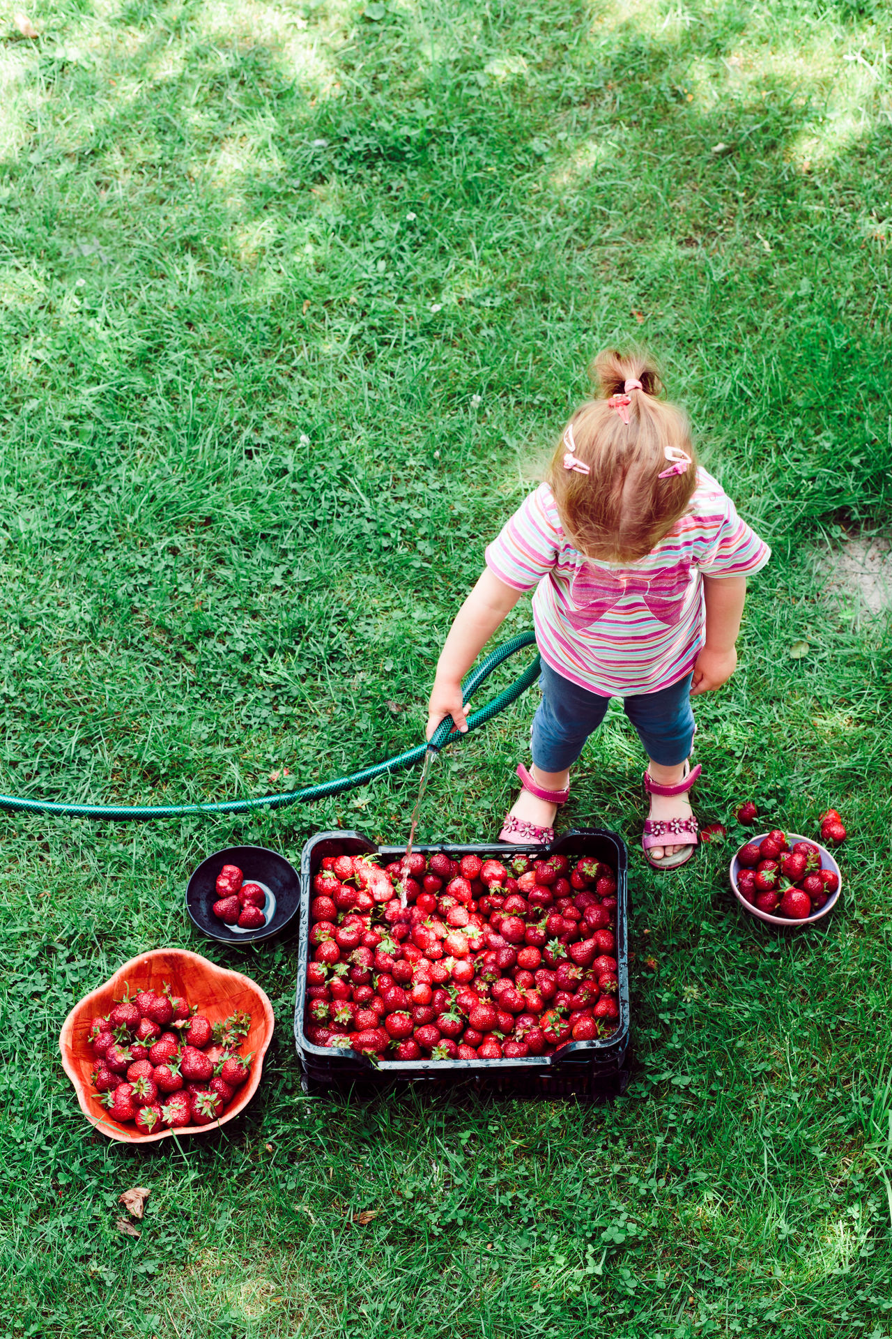 Little girl washing strawberries freshly picked in a garden Berry Child Childhood Family Farm Food Fresh Fruit Garden Girl Green Harvest Healthy Juicy Natural Nature Organic People Picking Raw Season  Sibilings Strawberries Summer Sweet