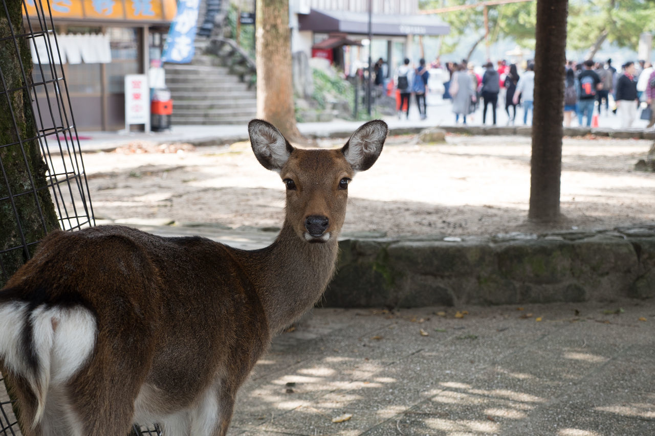 Animal Themes Animal Wildlife Close-up Countryside Day Deer Hiroshima Itsukushima Mammal Nature Outdoors Stag Travel Young Animal