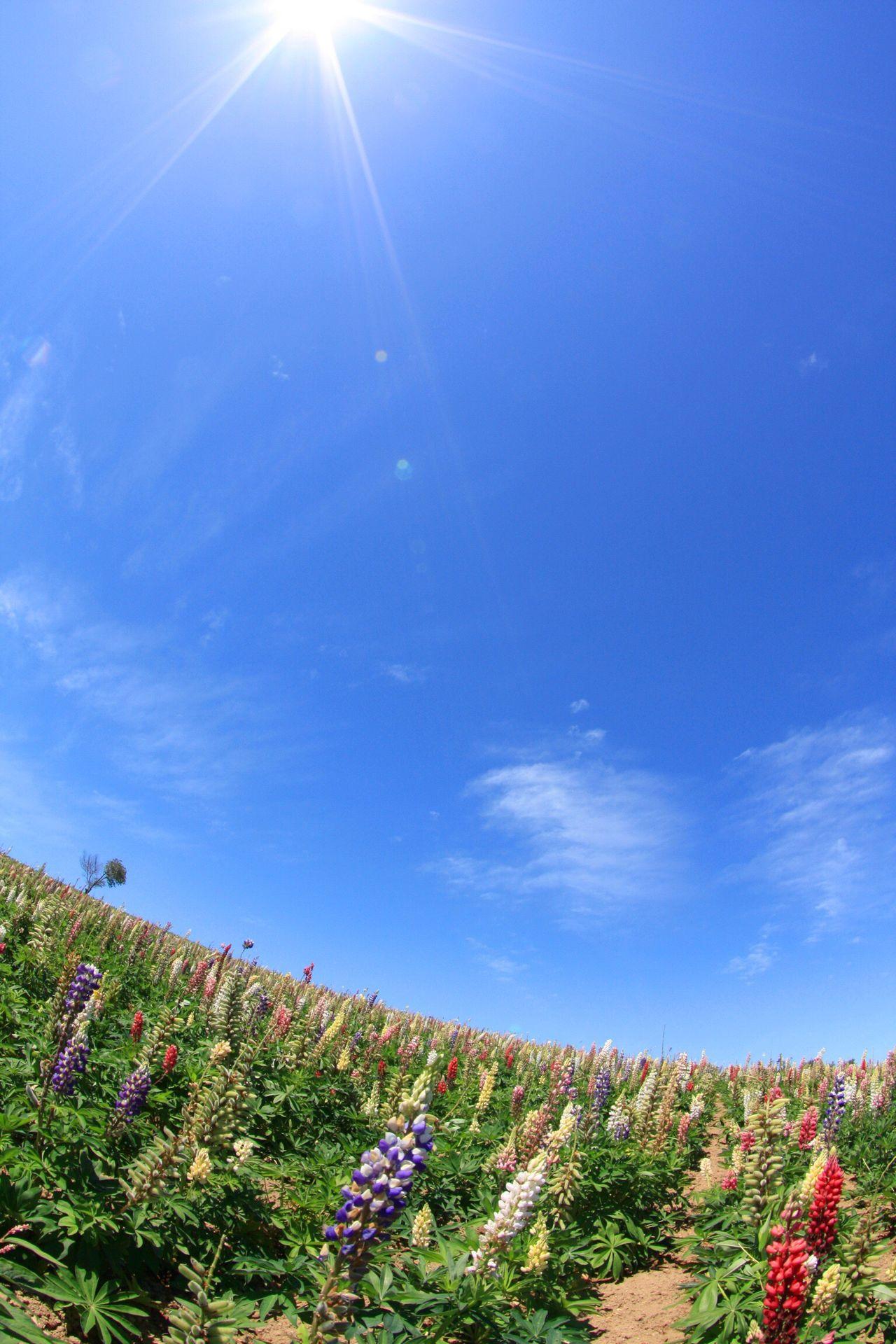 北海道 ルピナス Nature Sky Sunlight Blue Growth Flower No People Outdoors Beauty In Nature Sunbeam Scenics Tree Day Sun Tranquility Agriculture Plant Architecture Scenery Eyeemphotography Landscape Japan