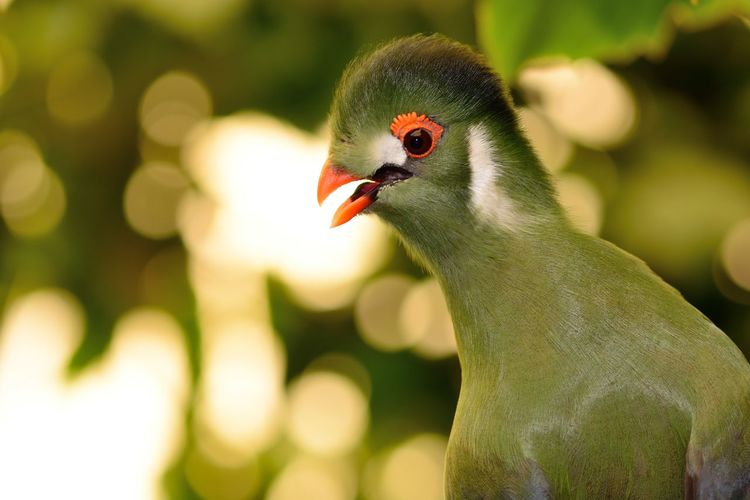 Animal Themes Animal Wildlife Animals Animals In The Wild Beauty In Nature Bird Birds Bokeh Check This Out Close-up Day EyeEm Best Shots EyeEm Nature Lover Focus On Foreground Nature Nature Photography Nature_collection No People One Animal Outdoors Portrait Selective Focus Taking Photos Turaco Wildlife