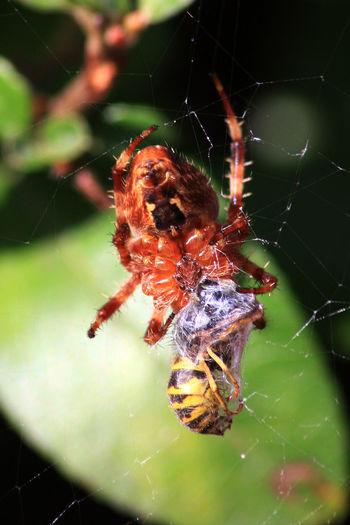 Detail Details Of Nature Insect Insekt Jäger Und Beute Natur Nature Naturkreislauf Prey Spider Spiders Food Spiderweb Spinne