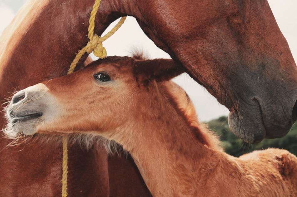 Beautiful stock photos of horse, Animal Themes, Brown, Close-Up, Day