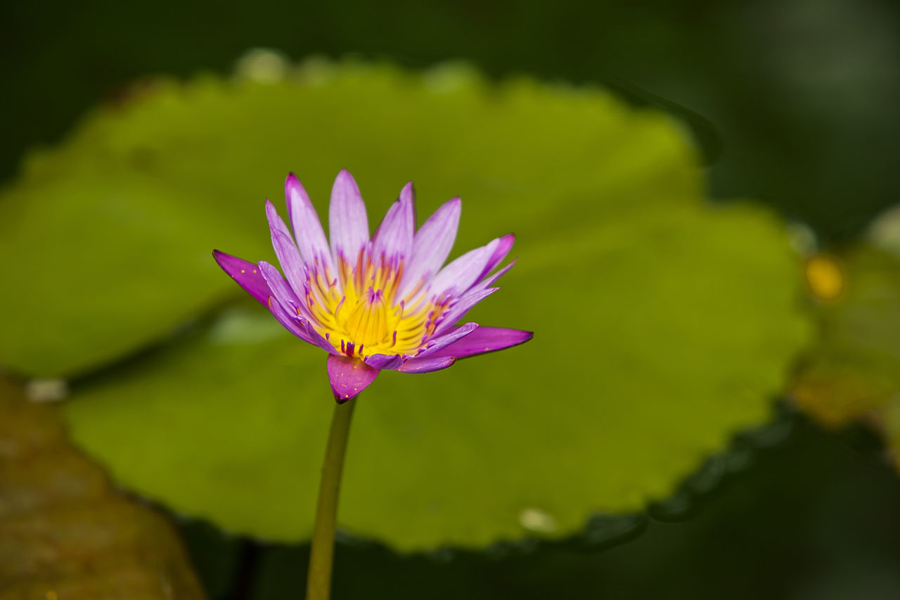 Jogeasa Buddist Temple Water Lily Flower