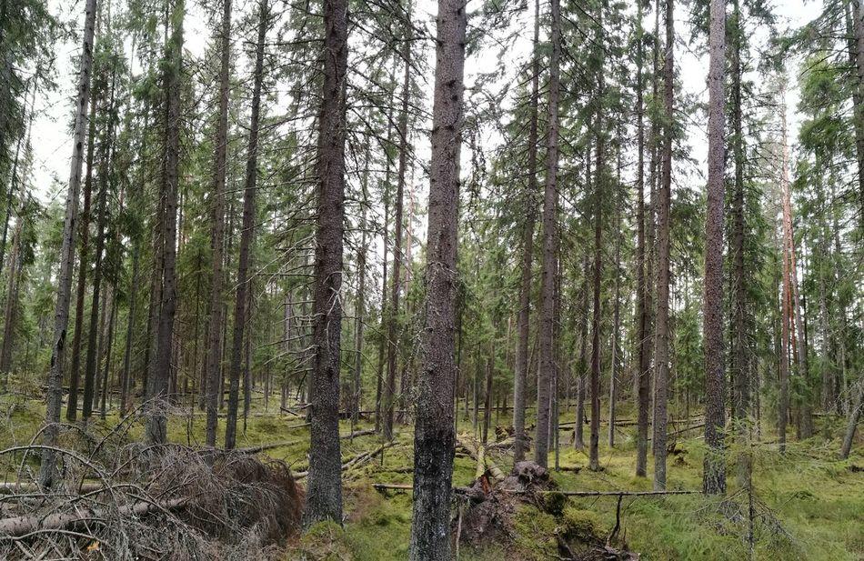 Moronvuori, Valkmusa, Pyhtää, Finland Tree Nature Forest No People Green Color HuaweiP9