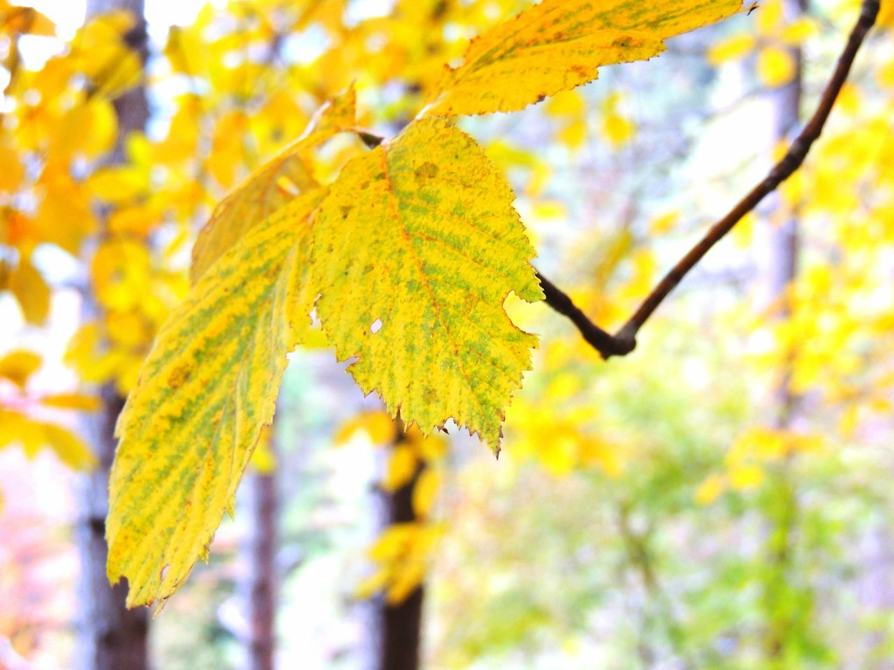 Animal Themes Autumn Beauty In Nature Branch Change Close-up Day Focus On Foreground Fragility Growth Leaf Low Angle View Nature No People Outdoors Tree Yellow Autumn Colours Autumn🍁🍁🍁 Autumn Colors Leafs. Leafscape Leafs Leafs Colors Leafs Photography