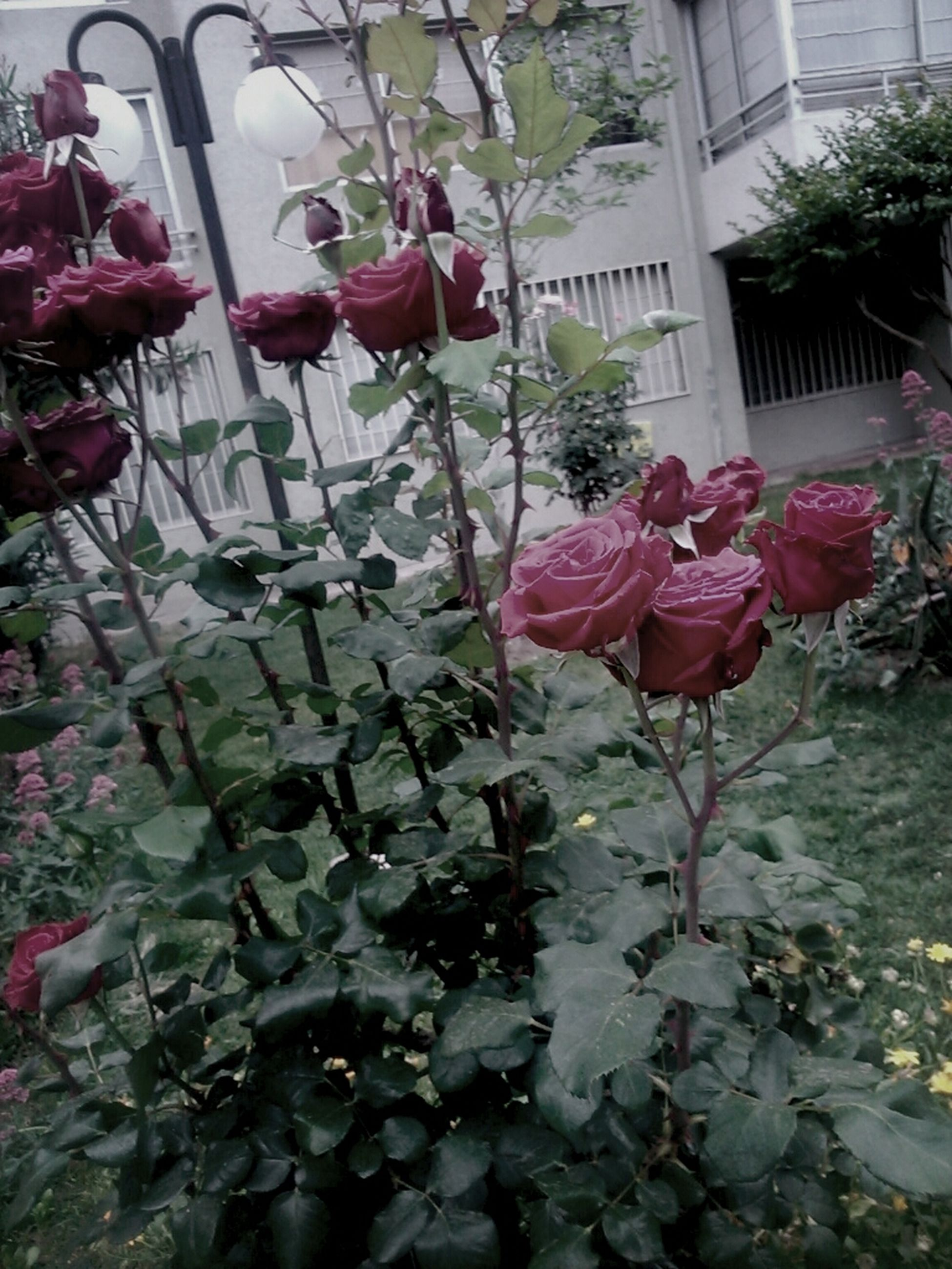 flower, plant, growth, leaf, nature, potted plant, pink color, built structure, day, fragility, building exterior, architecture, freshness, outdoors, beauty in nature, no people, hanging, front or back yard, wall - building feature, house
