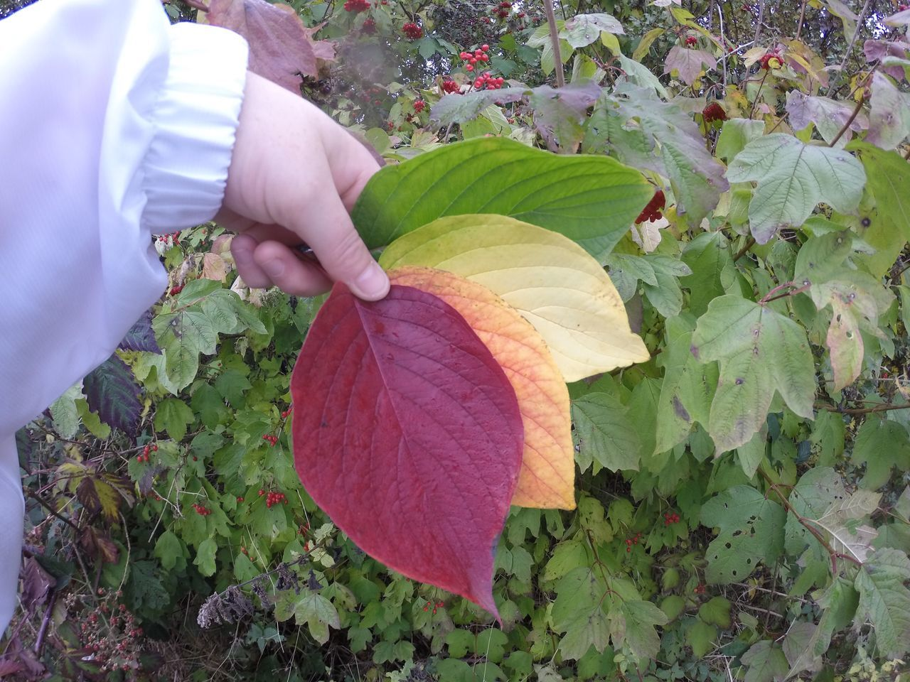 leaf, human hand, real people, one person, holding, freshness, human body part, food and drink, growth, plant, outdoors, fragility, nature, men, day, food, healthy eating, working, occupation, close-up, beauty in nature, flower, adult, people