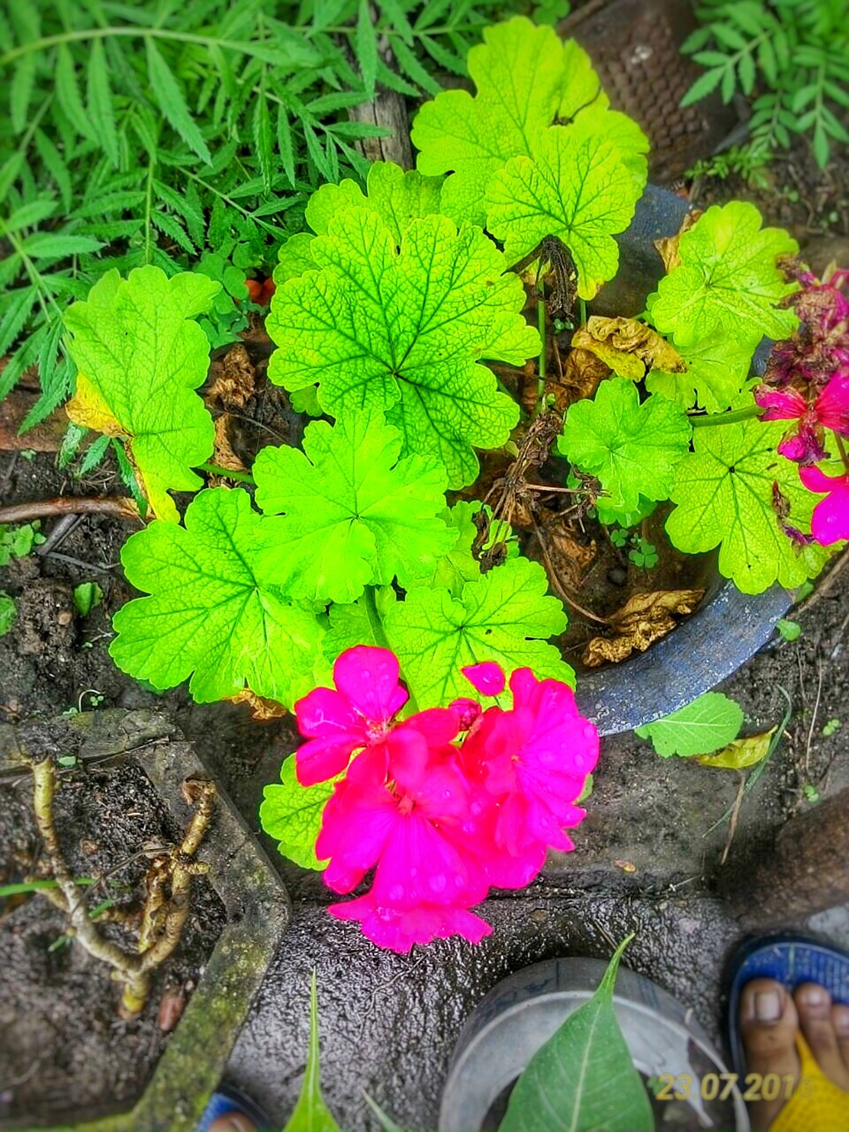 leaf, flower, freshness, high angle view, pink color, nature, fragility, plant, growth, green color, petal, beauty in nature, tranquility, flower head, outdoors, single flower, pink, day, leaves, botany, in bloom, springtime, garden, vibrant color, no people