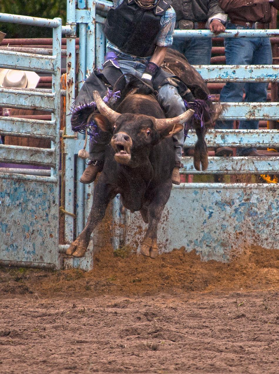 Beautiful stock photos of cowboy,  Bucking,  Bull - Animal,  Bull Riding,  Cattle