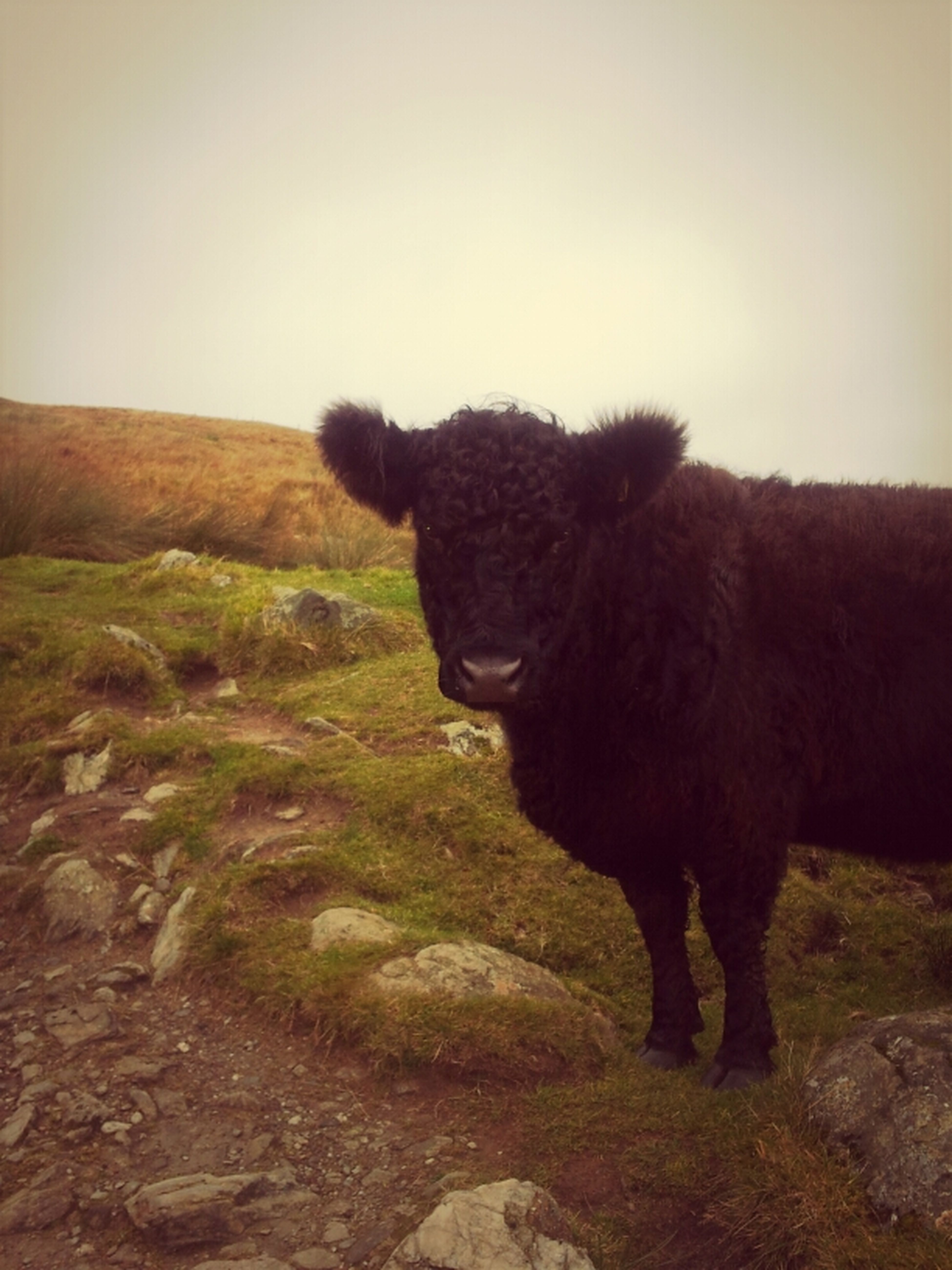 Moo Outdoors Cow Out Walking Great Outdoors Loch Lomand  Ben Lomand