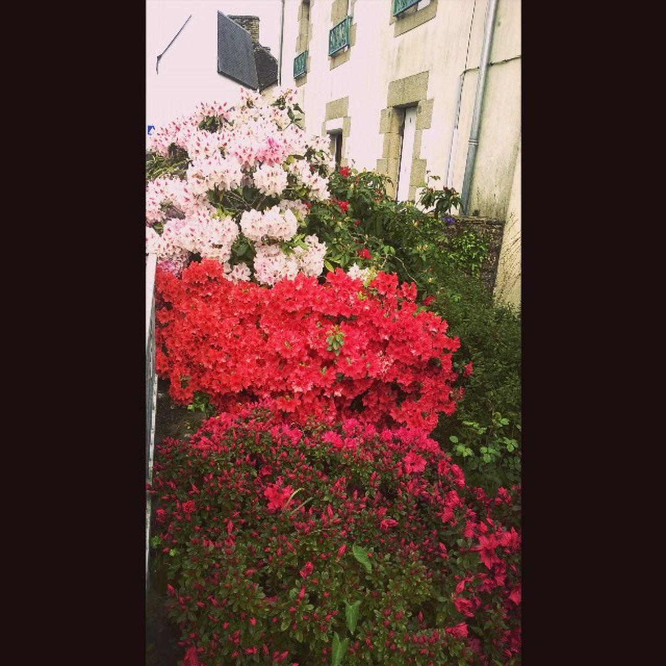 Les Fleurs du Cure de Taupont The Flowers of Taupont's Abbot Bretagne Breizh Jaimelabretagne Fansdebretagne Morbihan Miamorbihan Nature Natura Flowergram Fleursgram Instagram Instaflower