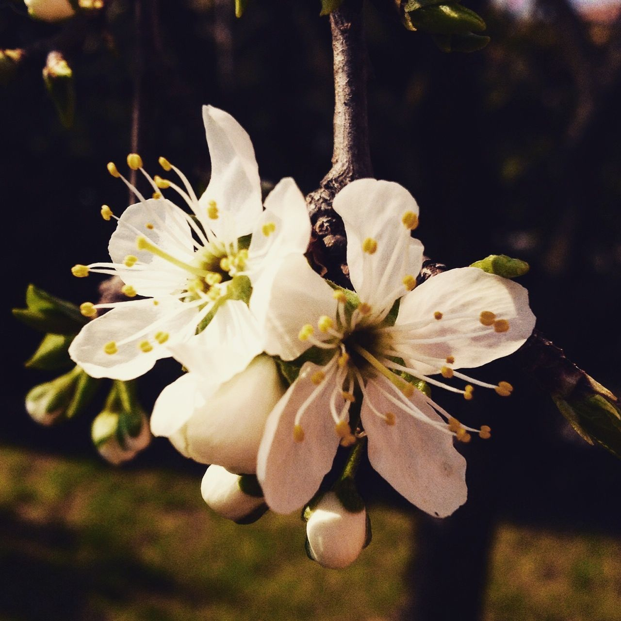 Beauty In Nature Close-up EyeEm Gallery EyeEm Nature Lover Flower Freshness Nature Plum Tree Spring Spring Flowers Springtime White Color