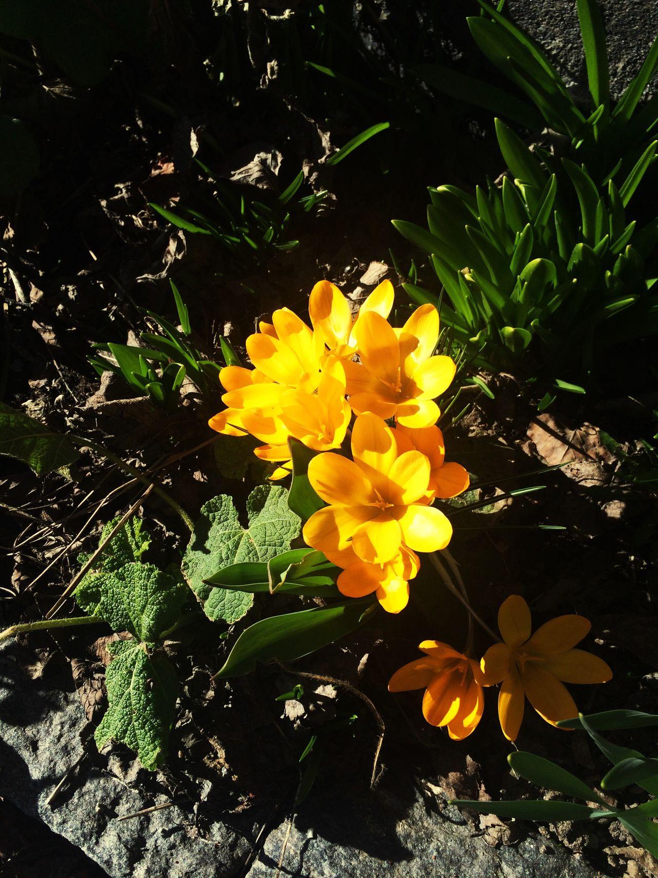 Flower Nature Fragility Plant Beauty In Nature Growth Yellow Outdoors Blooming Krokus Springtime Spring Flowers Spring Is Coming  Spring Is In The Air EyeEm Gallery EyeEmFlower