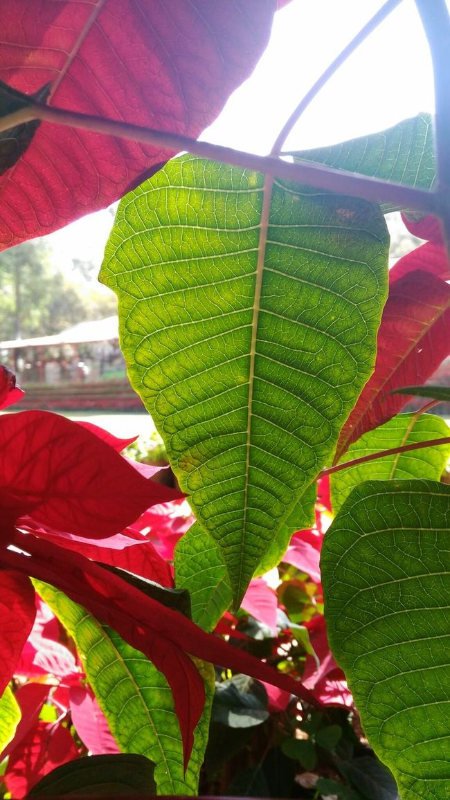 Red Leaf Sunlight Nature Close-up Day Growth Green Color Beauty In Nature Outdoors Water One Person Freshness Butterfly - Insect Sky People Growth Freshness Fragility Structures & Lines Beauty In Nature Green Red
