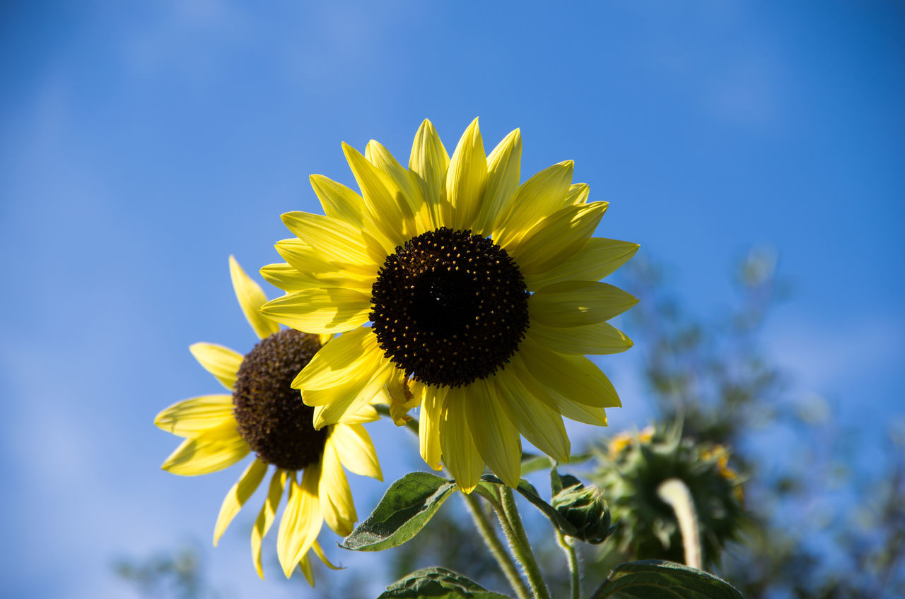 Beautiful stock photos of sunflower, Beauty In Nature, Day, Flower, Flower Head