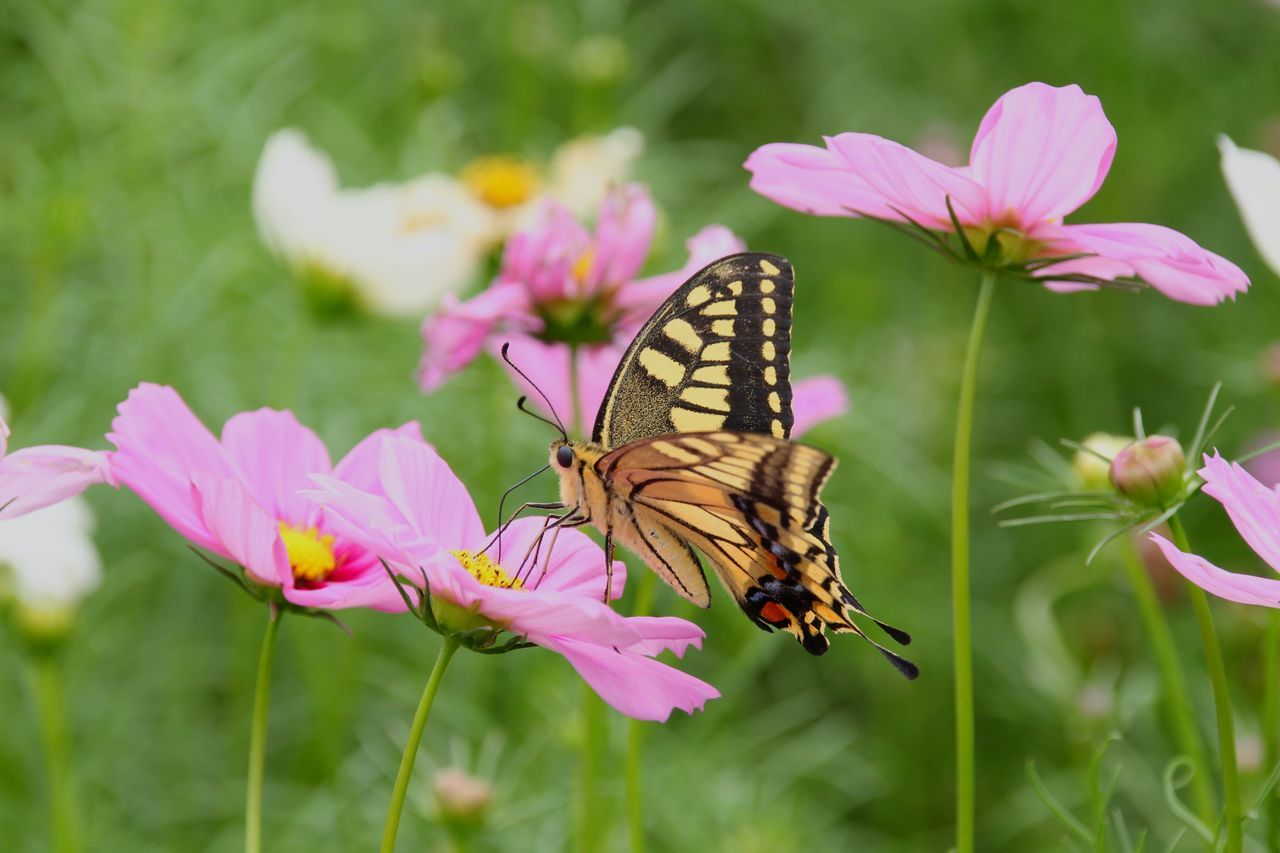 Beautiful stock photos of butterfly,  Animal Themes,  Animal Wildlife,  Animals In The Wild,  Beauty In Nature