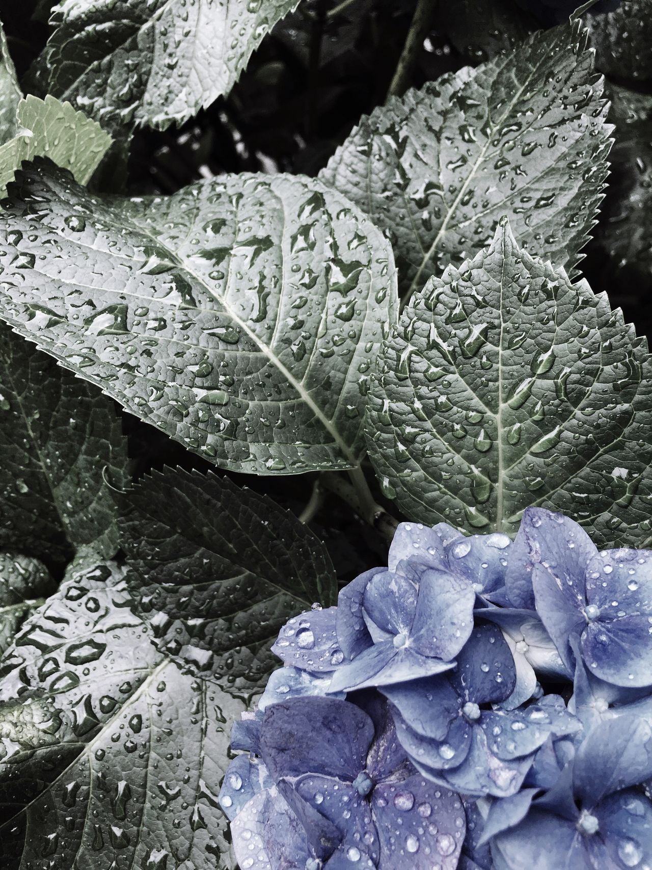 Flower Drop Wet Beauty In Nature Nature Plant Hydrangea After The Rain