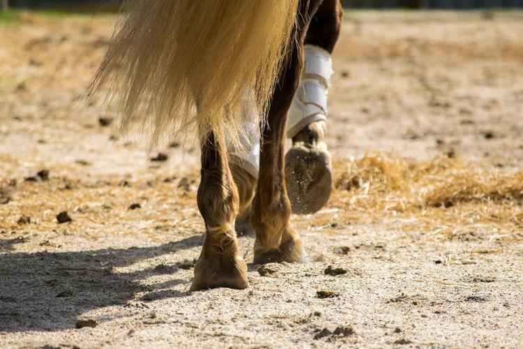 Action Animal Leg Domestic Animals Feet Hoof Horse Horseback Riding Outdoors Sand Mare Rocky Mountain Horse Gaited Ring Work Tail Dressage