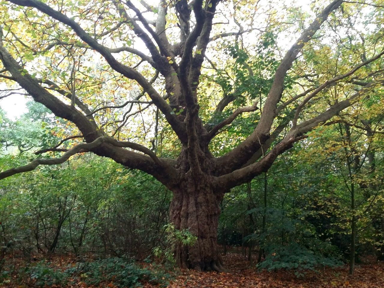 Tree Nature Growth Branch Tranquility Outdoors No People Day Beauty In Nature London Hampstead Heath Nature Autumn Beauty In Nature
