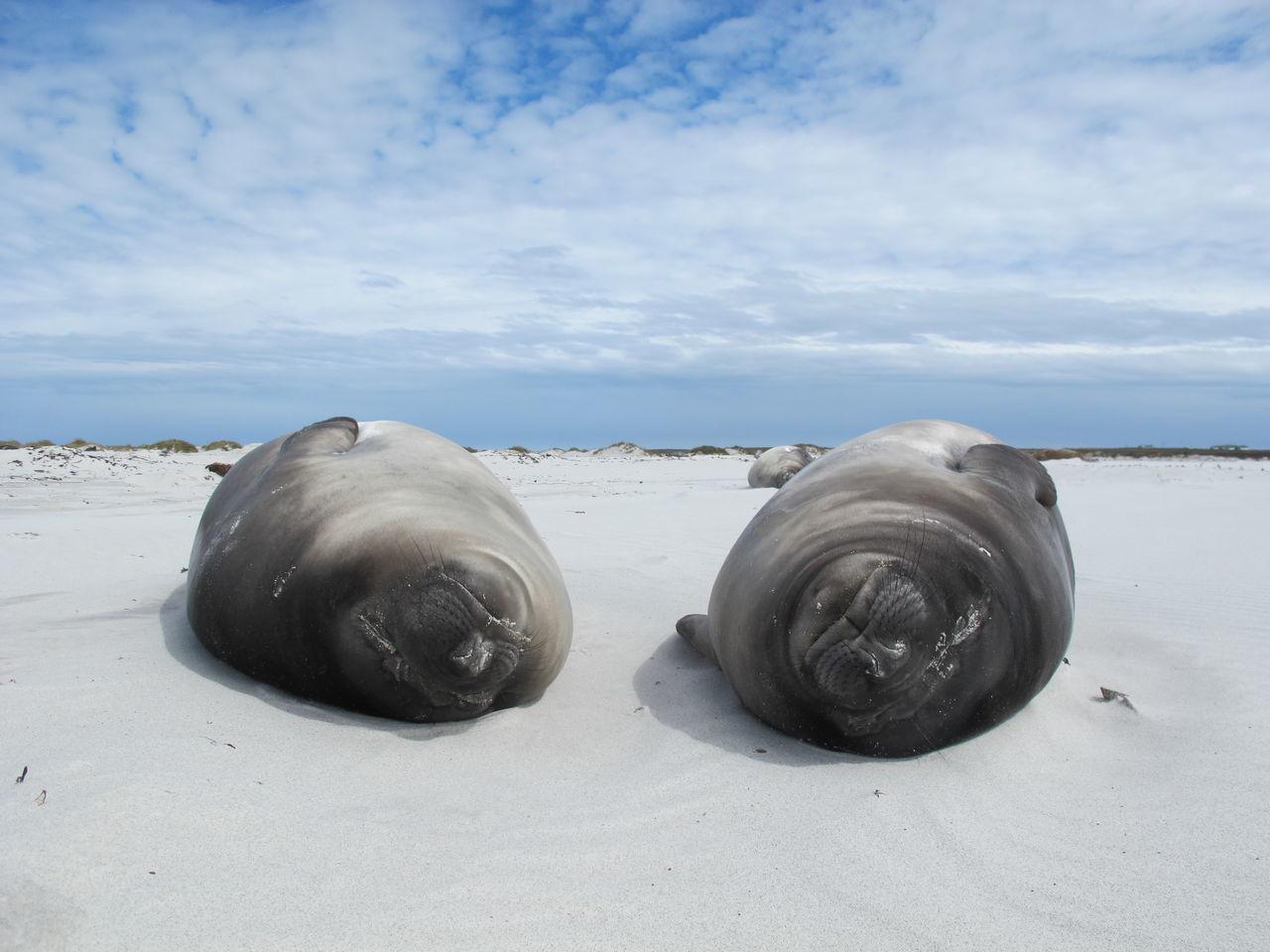 Beautiful stock photos of seal,  Animal Themes,  Animal Wildlife,  Animals In The Wild,  Beach