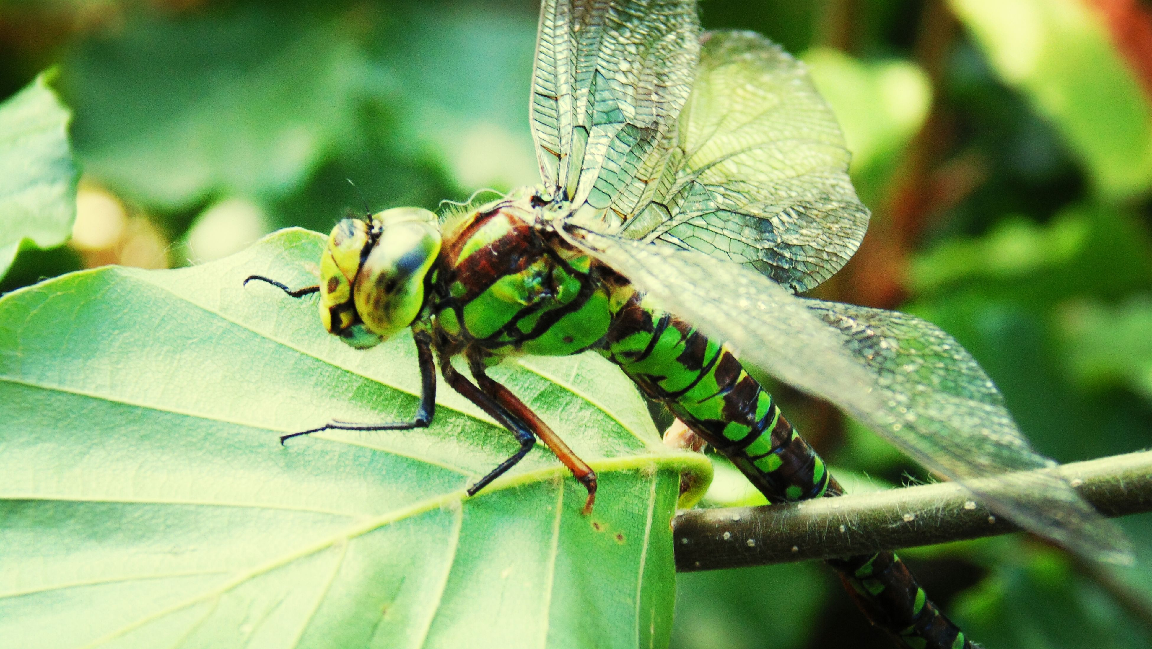 animal themes, one animal, animals in the wild, insect, wildlife, close-up, focus on foreground, leaf, nature, plant, animal antenna, green color, day, outdoors, dragonfly, selective focus, no people, growth, sunlight, natural pattern