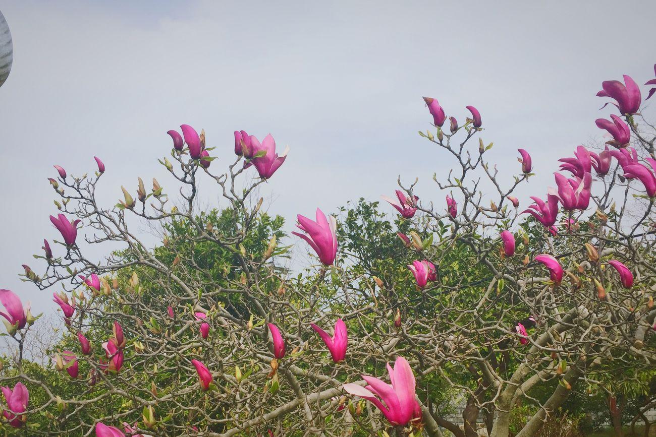 Magnolia Lovely Flowers Lovely Nature