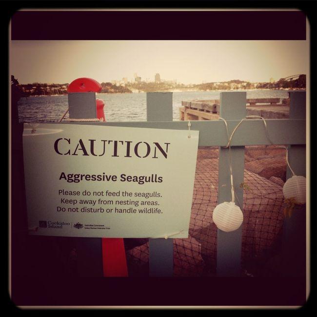 Sydney Seagulls Caution