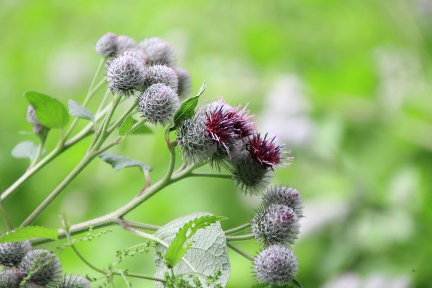 EyeEm Selects Flower Insect Nature Plant Animal Wildlife No People Focus On Foreground Purple One Animal Leaf Close-up Animals In The Wild Uncultivated Outdoors Beauty In Nature Day Bee Fragility Thistle Animal Themes