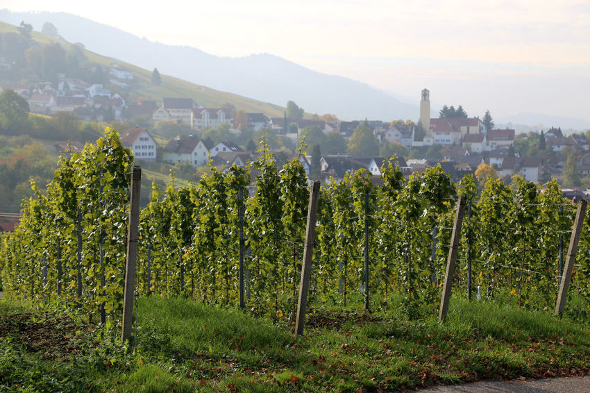 Vineyards near Baden-Baden with village of Varnhalt in the background Agriculture Architecture Beauty In Nature Building Exterior Day Field Green Color Growth Landscape Mountain Nature No People Outdoors Rural Scene Scenics Sky Tree Varnhalt Vineyard Wine Winemaking Winery