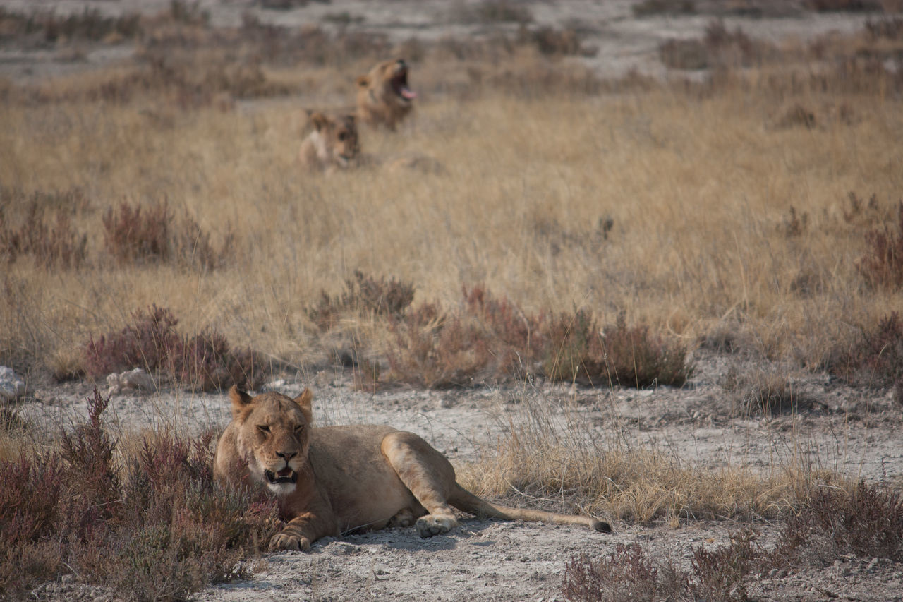 Beautiful stock photos of lion, Animals In The Wild, Arid Climate, Beauty In Nature, Day