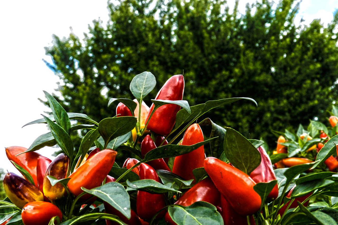 Hot Peppers Blooming Botanical Gardens Close-up Freshness Green Color Growing Growth Hot Peppers No People Orange Color Outdoors Plant Red Orange Yellow Green Leaves Hot Peppers Plants Hot Pepper Food Growing Food Pepper Plant Spicy Food The Street Photographer - 2016 EyeEm AwardsColorful