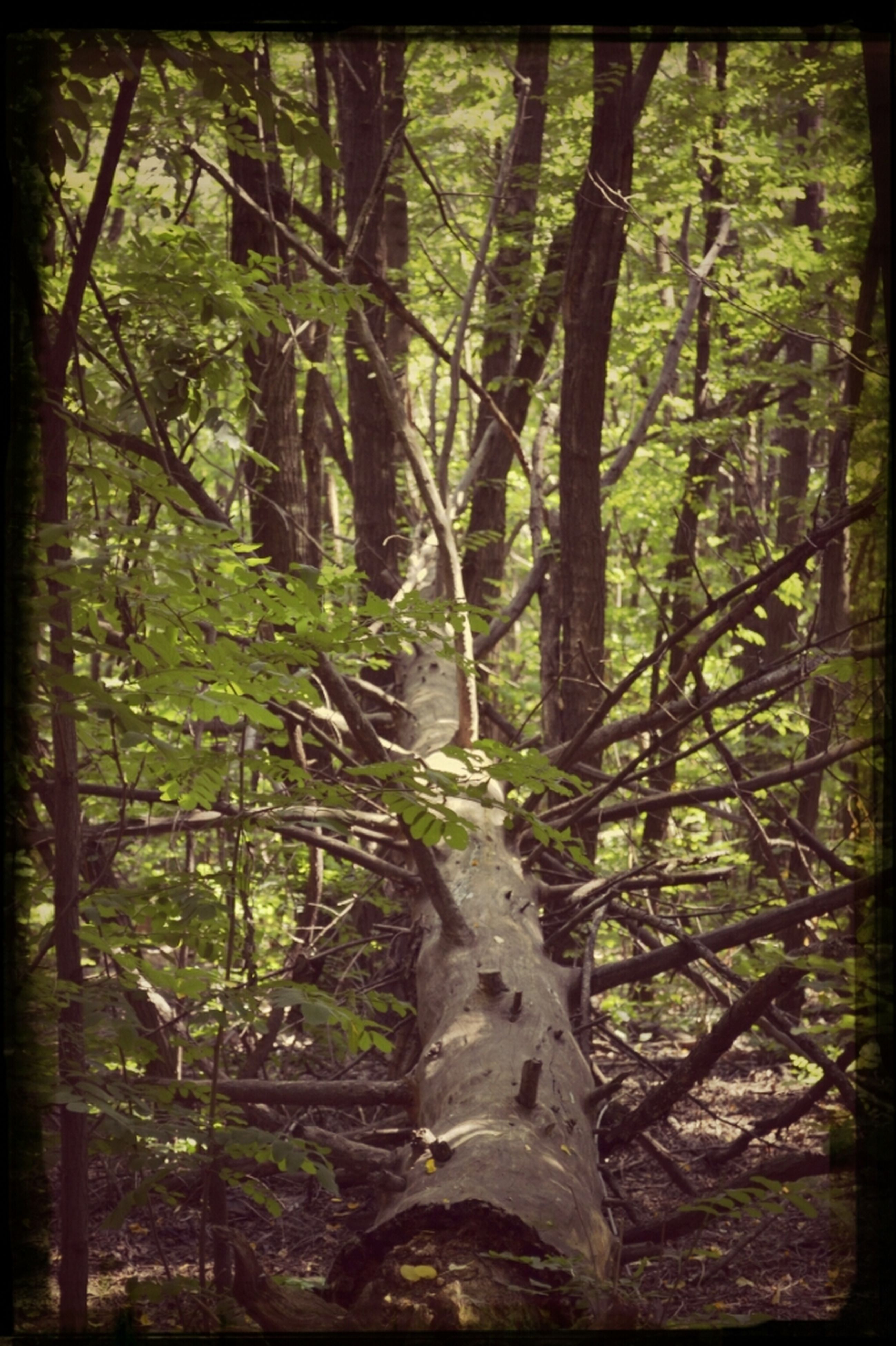 tree, tree trunk, forest, growth, transfer print, tranquility, woodland, branch, nature, auto post production filter, tranquil scene, beauty in nature, green color, day, scenics, outdoors, no people, non-urban scene, woods, sunlight
