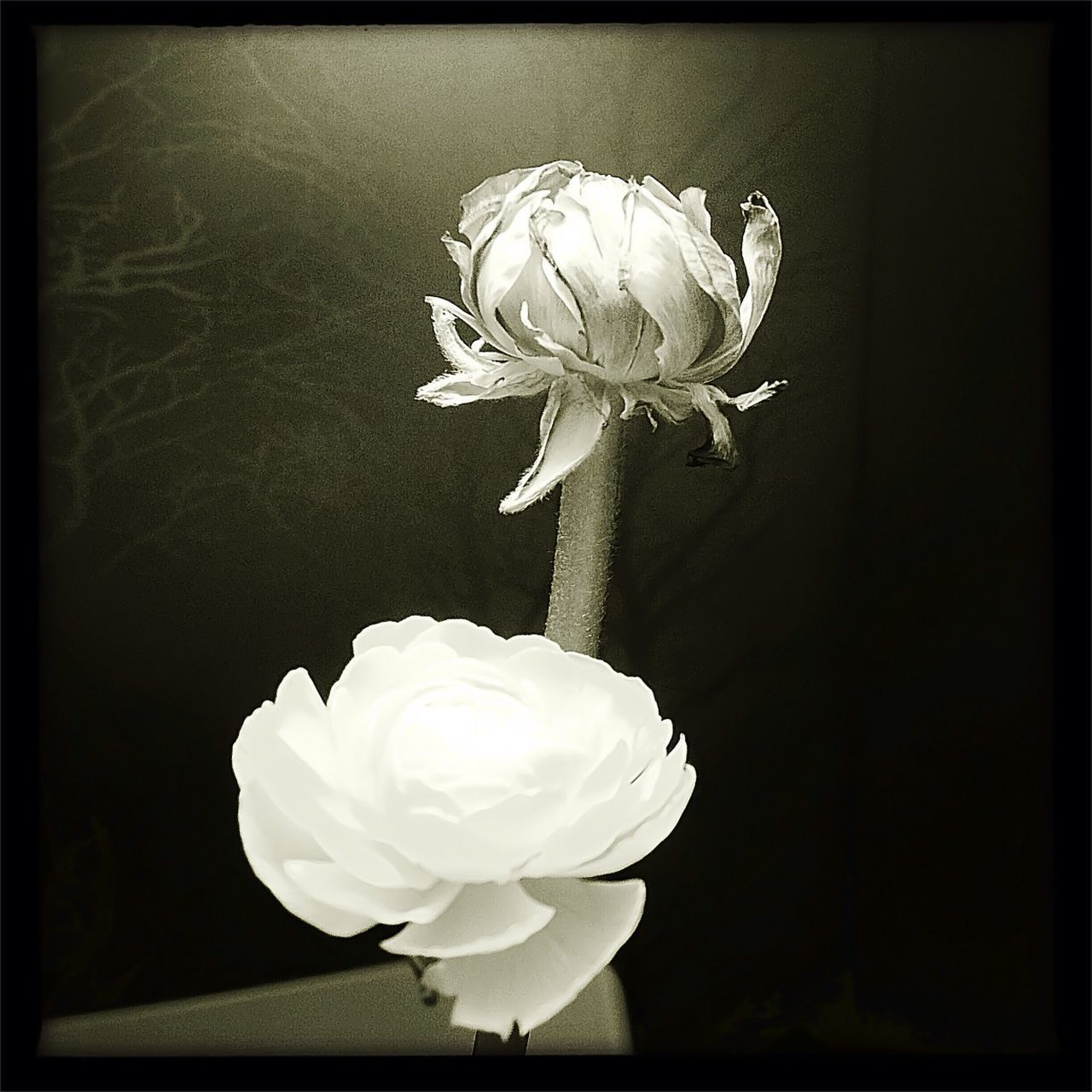 flower, transfer print, auto post production filter, petal, freshness, flower head, fragility, stem, close-up, growth, bloom, rose - flower, beauty in nature, nature, single flower, blossom, studio shot, botany, springtime, black and white, creativity, in bloom