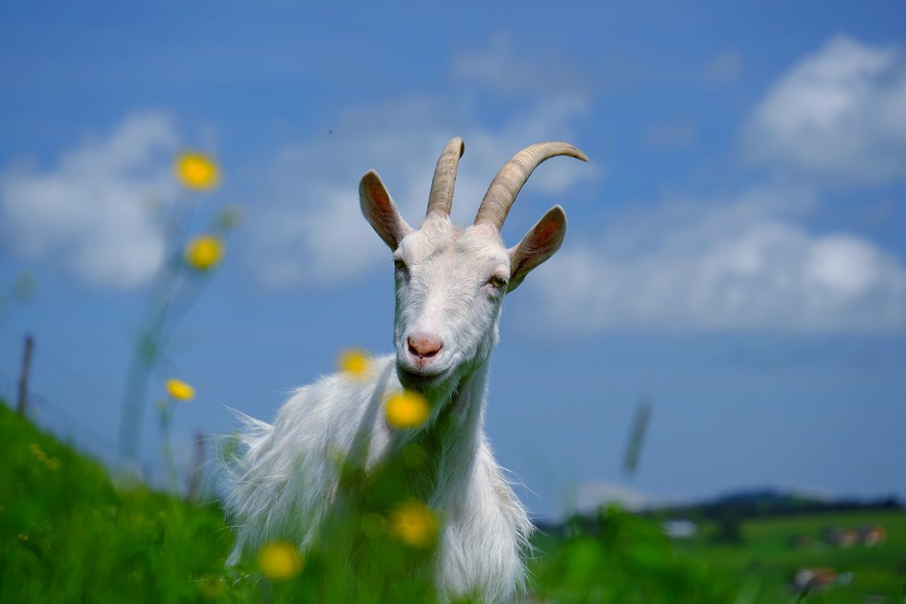 Beautiful stock photos of goat, Animal Themes, Cloud, Day, Domestic Animals