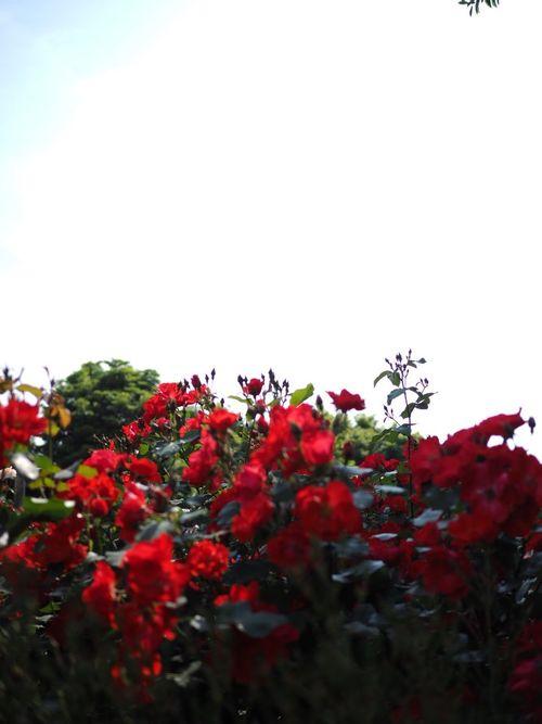 バラ園 蜻蛉池公園