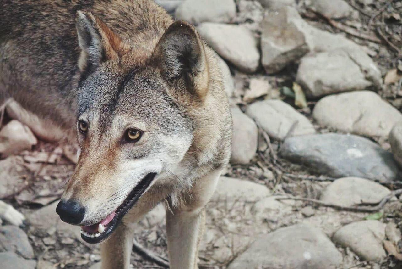 Beautiful stock photos of wolf, Animal, Animal Body Part, Animal Head, Animal Themes