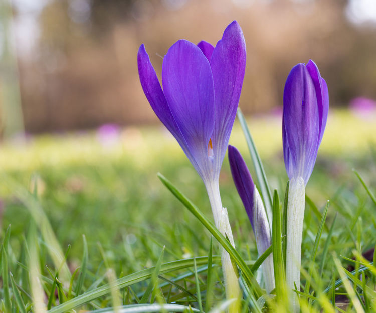 Crocus Flower Crocus Lily Crocus Vernus Beauty In Nature Blooming Close-up Crocus Crocuses Crocuses Spring Crocusesinbloom Day Field Flower Flower Head Fragility Freshness Grass Growth Nature No People Outdoors Petal Plant