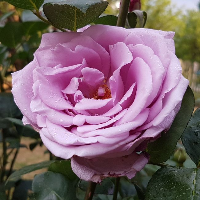 South Africa 🇿🇦 South Africa Outdoors Flower Petal Fragility Close-up Flower Head Freshness Single Flower Beauty In Nature Nature Growth Rose - Flower Pink Color Softness Springtime Blossom In Bloom Focus On Foreground Rosé Botany Bloom