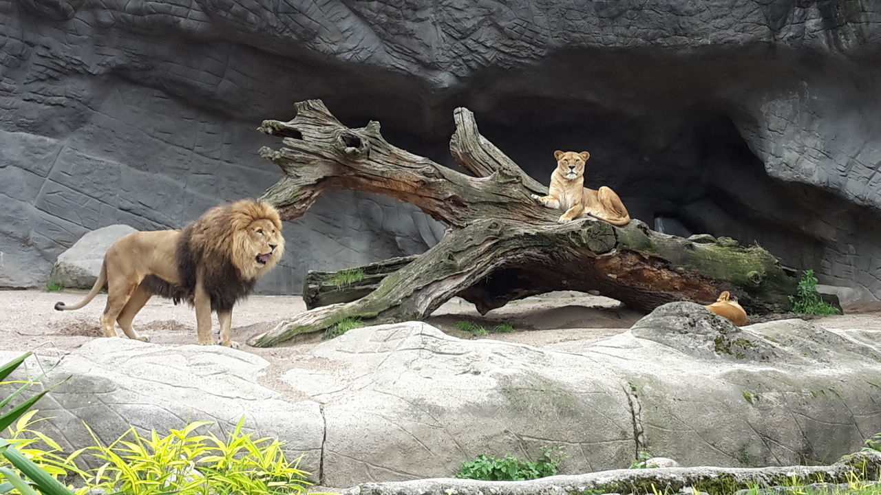 Animal Wildlife Animal Animal Themes No People Lions Hagenbecks Tierpark Hamburg  Zoo Couple
