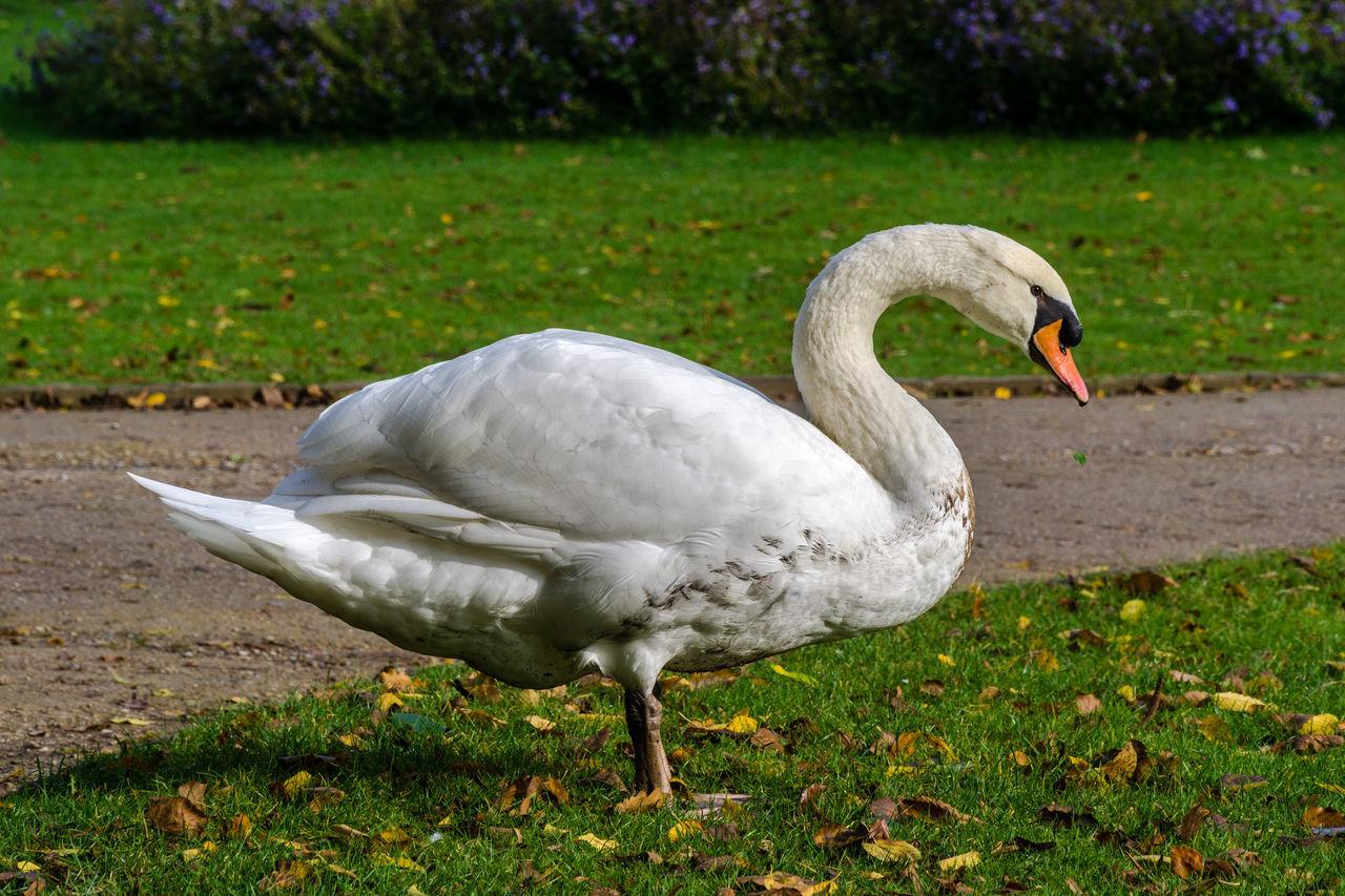 Animal Bird Grass Swan,  Water Bird White Wild Wildlife