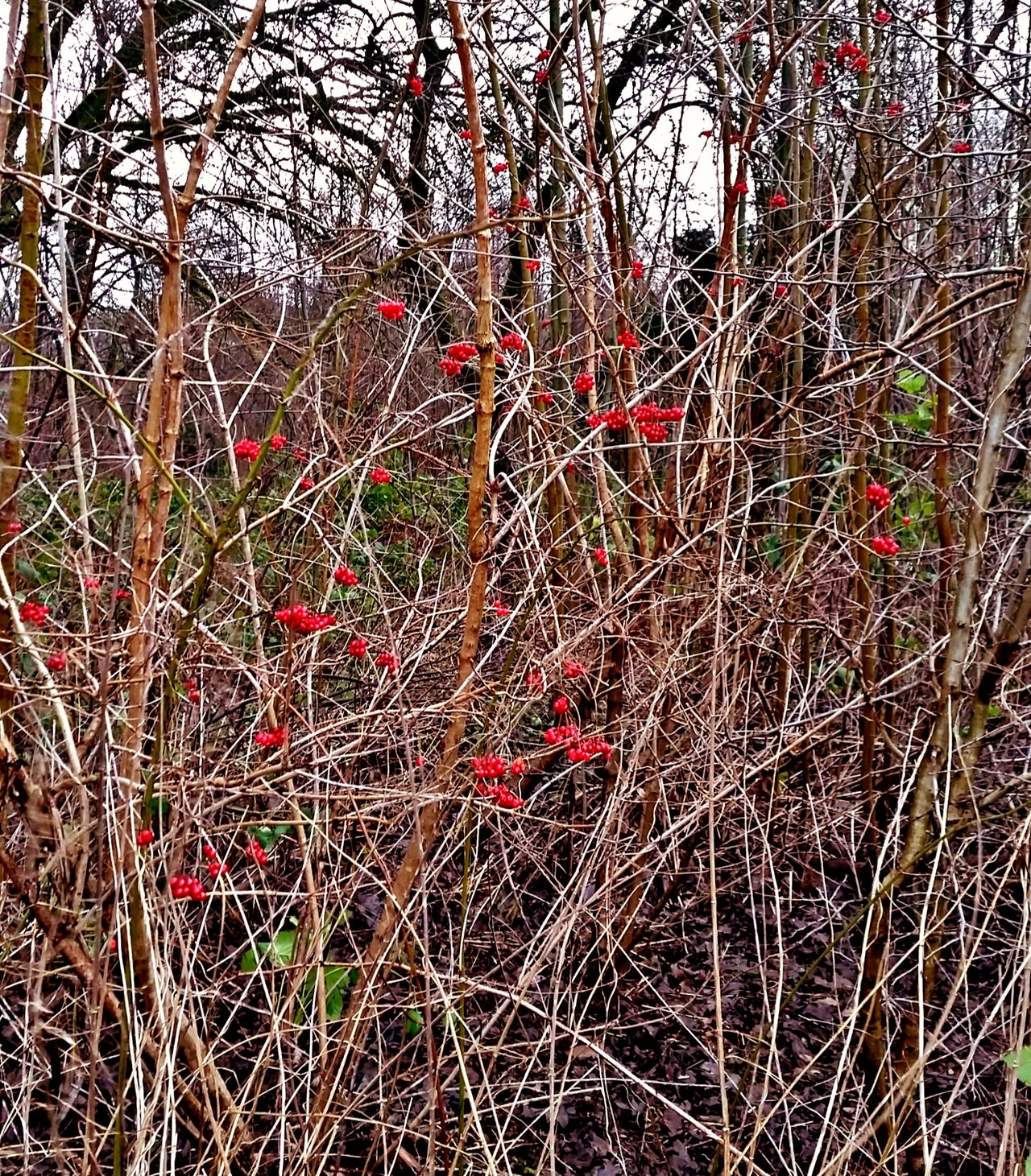 Bush Berrys Red Color Beauty In Nature Outdoor Photography No People
