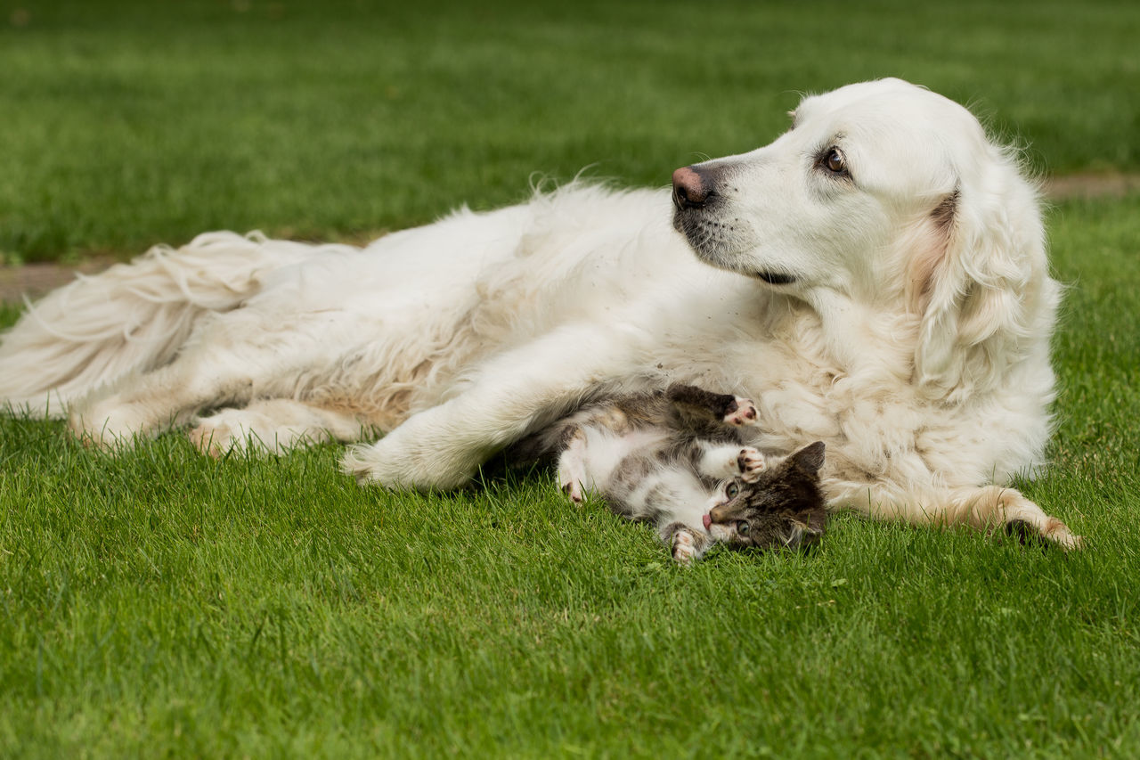 Dog Relaxing On Grassy Field With Kitten
