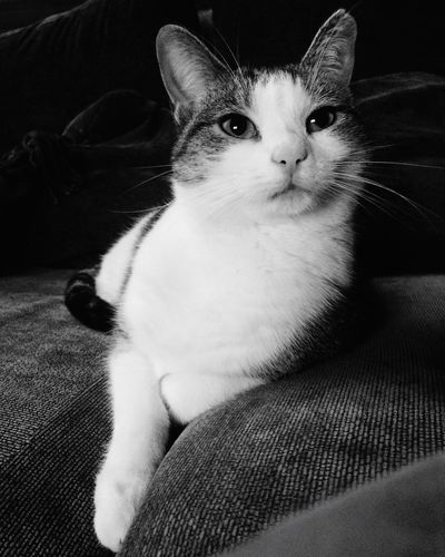 EyeEm Selects Pets One Animal Domestic Cat Animal Themes Mammal Domestic Animals Indoors  Sofa Sitting Feline Home Interior Whisker Looking At Camera Portrait Close-up No People Day Blackandwhite Cats Cat Pet Black And White Indoor Photography Fur