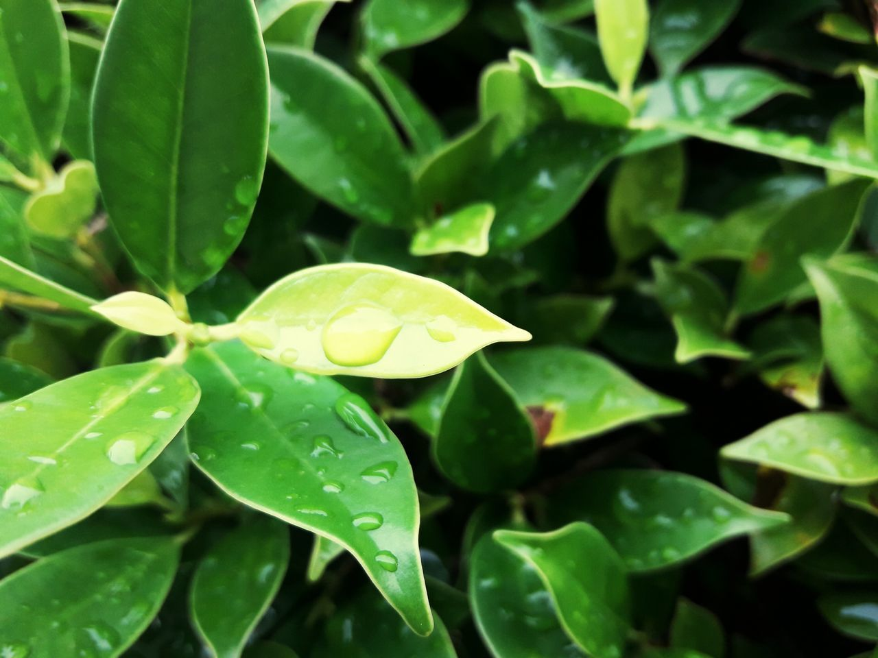 leaf, green color, growth, nature, drop, plant, fragility, freshness, close-up, beauty in nature, no people, wet, day, water, outdoors, flower, flower head